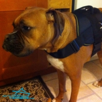 The Best Boxer Harness to Prevent Pulling