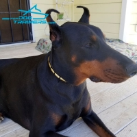 *Enzo the Doberman Showing off in  Narrow Leather Dog Collar Decorated with Plates