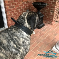 *Levi Wearing 2 Ply Leather Agitation Mastiff Collar with Handle