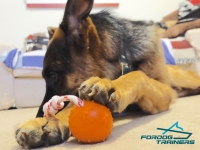 Theo Playing with Training Rubber German Shepherd Ball on  String