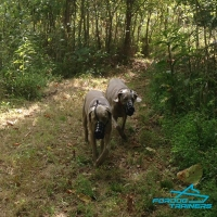 Two  Weimeraners Walking in FDT S Leather Basket Dog Muzzle with Perfect Ventilated Design
