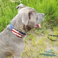 Handsome American Staffordshire Presenting Handpainted Leather Dog Collar