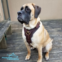 *Mastiff  in Padded Leather Dog Harness for Walking and Training