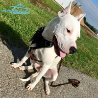 Heavy Duty Leather Dog Harness for Pitbull Training