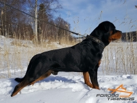 *Milo Looks Perfect in Braided Leather Rottweiler Collar