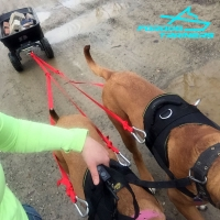 Powerful *Buddy Pulls in Durable Nylon Mastiff Pulling Harness
