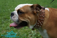 *Junior in Exclusive Spiked Design Leather Dog Collar