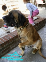 *Jake  Shows off  Narrow Leather Mastiff  Collar Decorated with Plates