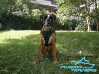 *Ayden Boxer Wearing Perfect for Training  Working Dog Harness