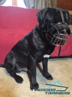 *Fang Feels Comfortable in Mastiff Wire Cage Dog  Muzzle