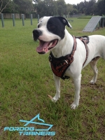 *Bailey is a Star Wearing Painted Leather Harness - Multi-Use Canine Equipment