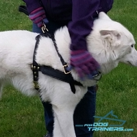 Siberian Husky Wearing  Top Seller Leather Harness from FDT