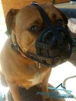 *Hoochy in Leather Basket Muzzle Ready for Safe Walking Around