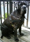 Neo wearing our exclusive Tracking / Pulling / Agitation Leather Dog Harness For Mastiff H5