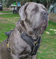 BIG LEATHER DOG HARNESS For MASTIFFS- Padded dog Harness
