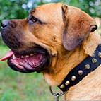 Fascinating Wide Nylon Cane Corso Collar - Fashion Exclusive Design