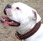 *Odin wearing our Gorgeous Wide 2 Ply Leather Dog Collar - Fashion Exclusive Design
