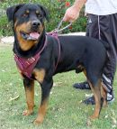 leather rottweiler dog harness