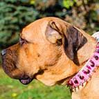 Pink Leather Cane Corso Collar Adorned with Spikes and Studs