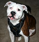 Handcrafted Padded Leather Dog Harness Perfect for Pitbull Training