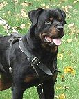 Agitation / Protection / Attack Leather Dog Harness Perfect For Your rottweiler H1_1