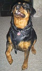 Agitation / Protection / Attack Leather Dog Harness Perfect For Your Rottweiler H1_2