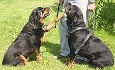 Agitation / Protection / Attack Leather Dog Harness Perfect For Your rottweilerH1