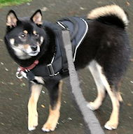 Shiba Inu Nylon multi-purpose dog harness