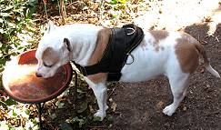 Lightweight Nylon Dog Harness with Handle for Any Weather Wearing