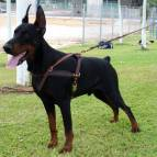 Tracking / Pulling / Agitation Leather Dog Harness For Doberman H5