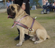 Old English Mastiff Lightweight Leather Dog Harness for Pulling and Tracking
