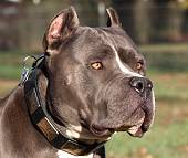 Gorgeous Dave Wearing our War Style Leather Dog Collar for Pitbulls