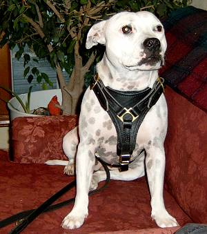 sophie with leather dog harness on