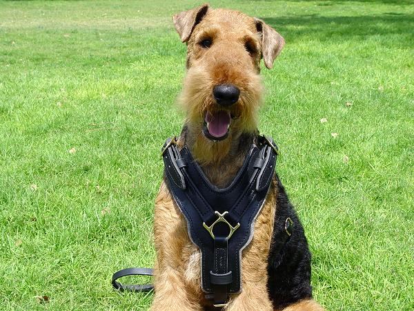 Leather Airedale Terrier Harness with Optional Handle