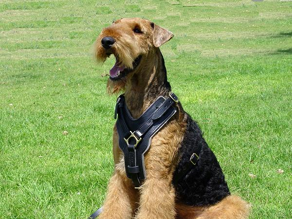Airedale Terrier Harness for Intensive Training