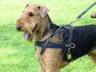 Airedale Terrier leather pulling harness with side d-rings