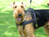 Airedale Terrier leather pulling harness Handcrafted