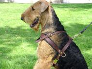 Airedale Terrier leather training harness for pulling work
