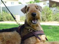 Airedale Terrier leather tracking harness side D-ring for cargo attachment