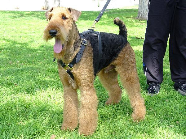 Airedale Terrier Harness for Tracking