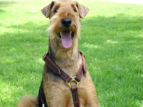 Airedale Terrier Harness