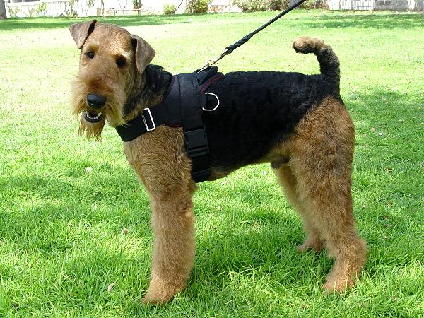 Pulling Airedale Terrier Harness