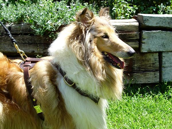 Harness for Collie