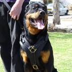 Exclusive Luxury Handcrafted Padded Leather Dog Harness Perfect  for your Rottweiler