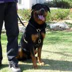 Luxury handcrafted leather dog harness made To Fit Rottweiler