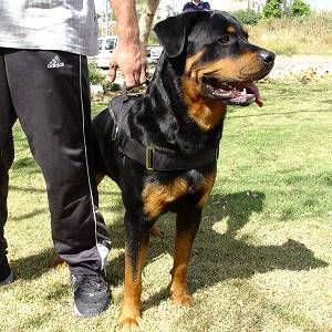 Nylon dog harness for tracking / pulling Designed to fit Rottweiler