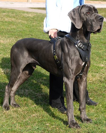 great dane newfoundland