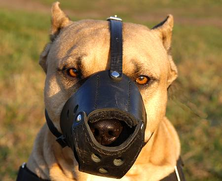 Amstaff Muzzle for Training Sessions